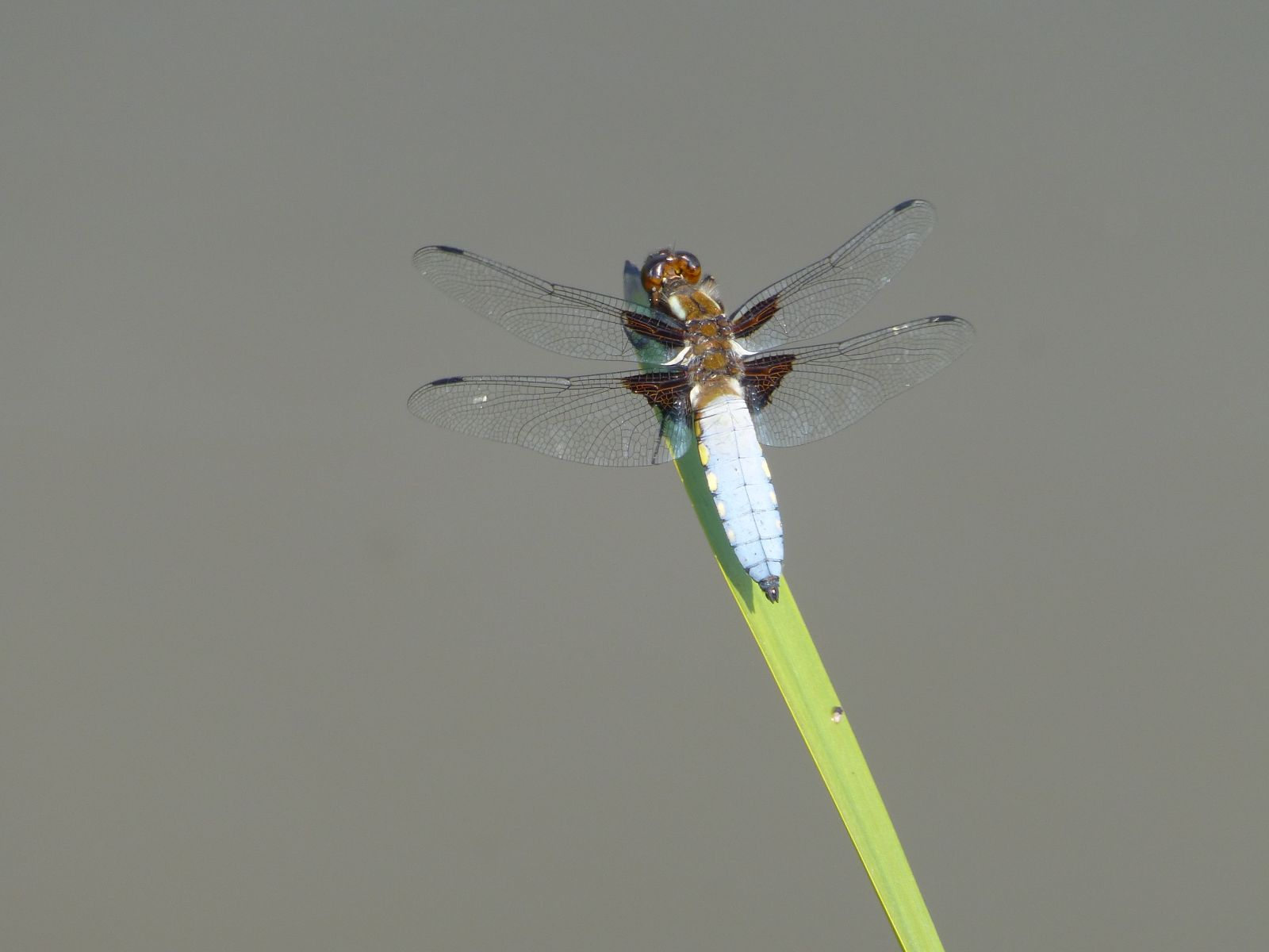 Dragonfly on wetland