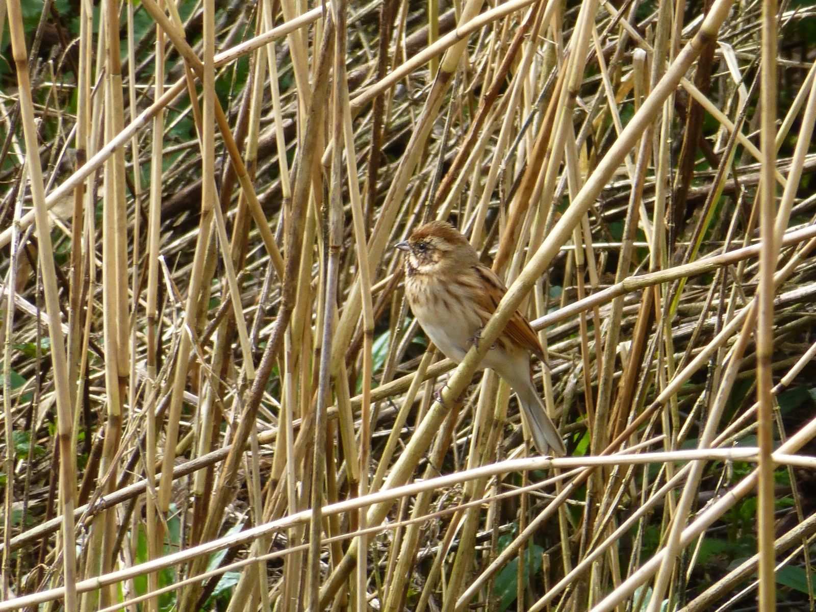 Female Reed Buntin