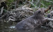 AGM sparks lively debate on beavers