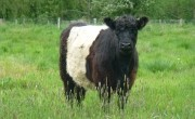 Bovine gift boosts water meadow project