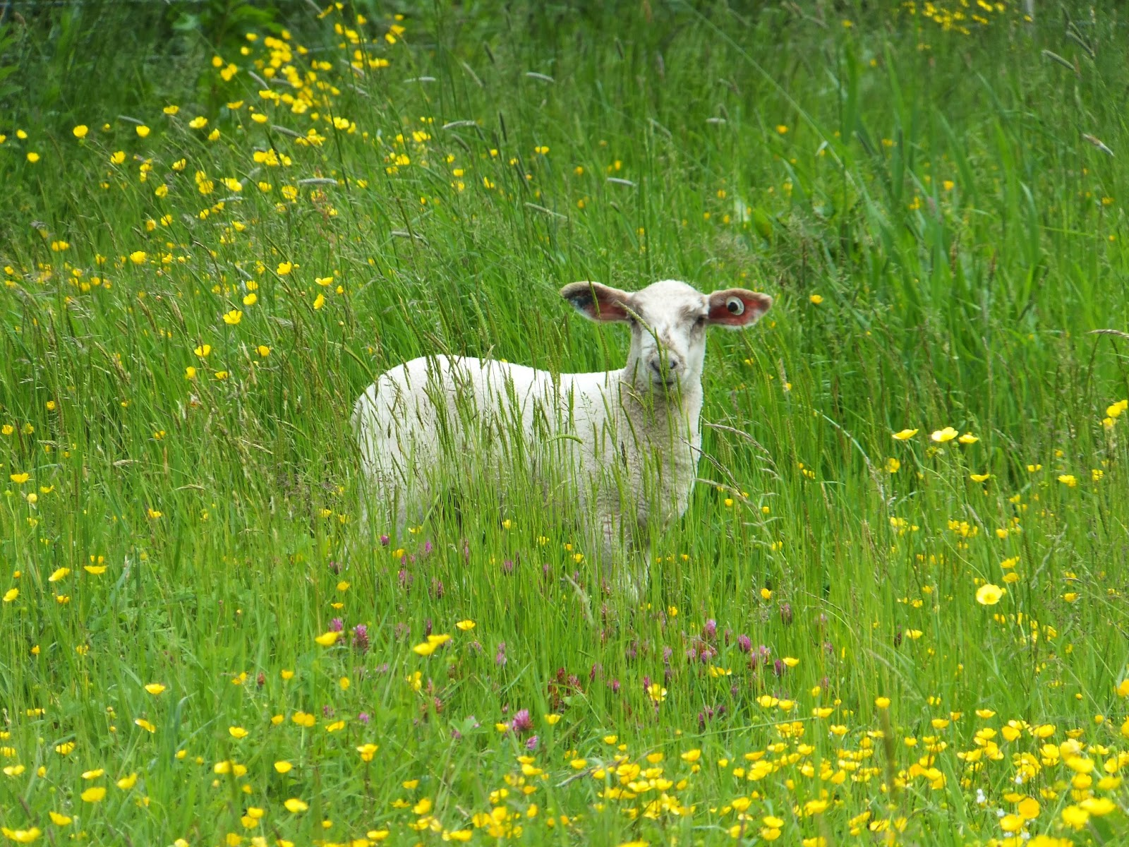 Lamb with flowers in Coopers Meadow